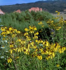 echinacea-paradoxa-yellow-coneflower-xg-9aug05-lah-015