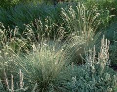 helictotrichon-sempervirens-blue-oat-grass-xg-9aug05-lah-005