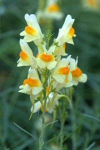"Toadflax is on Colorado's Noxious Weed List ""B"""