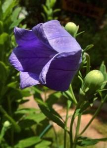 platycodon-grandiflorus-balloonflower-dbg-lah-002r