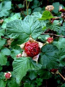 rubus-deliciosus-boulder-raspberry-cc-2003jul06-lah-004