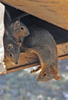 3-squirrels-in-roof