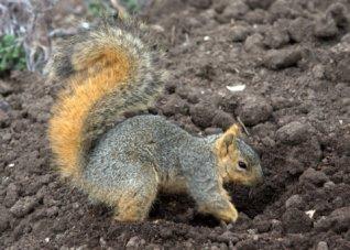 fox-squirrel-digging-up-garden_dbg_20100417_lah_2903