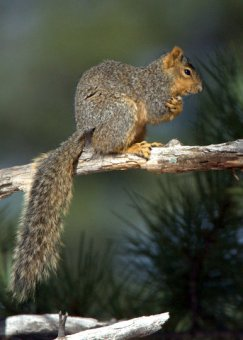 fox-squirrel_blkforest_20100424_lah_3624
