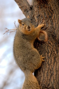fox-squirrel_dbg_10200118_lah_7185