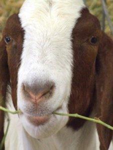 goat-eidahostatefair-2007sept08-lah-585