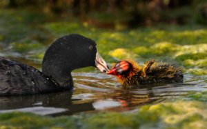 american-coot-young_riperianpres-gilbertaz_20100514_lah_2939