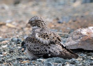 Antillean Nighthawk with chick under wing, Cabo Rojo, PR