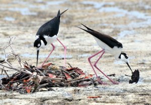 Black-necked Stilts building nest, Puerto Rico