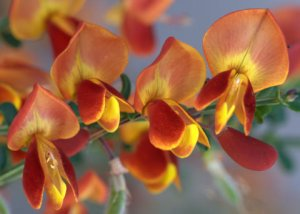 cytisus-lena-broom_colospgs_20090606_lah_1991