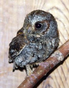 flammulated-owl-pueblo-raptor-center-cdb