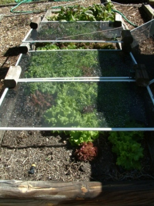 lettuce-bed-shaded-home-lah-002