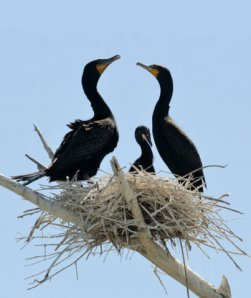 Double-crested Cormorants, Lake Pueblo, CO