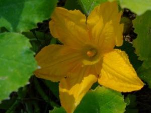 Squash blossom @home 2008sept23 LAH 253