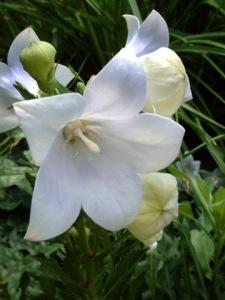 platycodon-grandiflorus-albus-balloon-flower-dbg-lah-321r-1