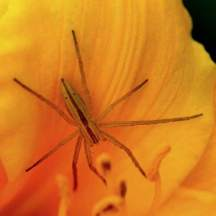 spider-on-daylily_cottonwoodxg_lah_2524