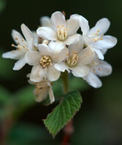 waxflower_jamesia-americana_emeraldvalley-co_lah_2804