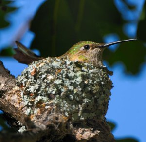 broad-tail-hummingbird-on-nest_bcnc_lah_6418
