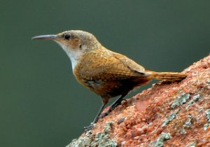 canyon-wren_redrocksranch-hwy115-co_lah_6770-1