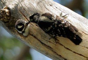downy-woodpecker-nest_starsmore-cs-co_lah_6728
