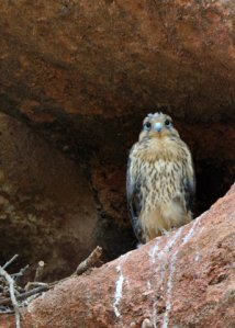 prairie-falcon-nest_redrocksranch-hwy115-co_lah_6753