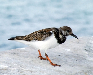 ruddyturnstone-florida-keys-1jan08-lah-852