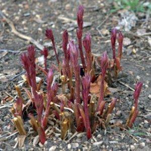 paeonia-peony-sprouting_hudsongardens-littletonco_20100406_lah_1684