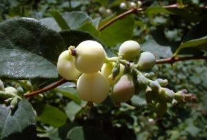symphoricarpos-albus-snowberry-dbg-lah-263