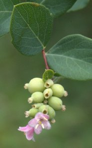 Symphoricarpos albus_Snowberry_XG-CO_LAH_3119