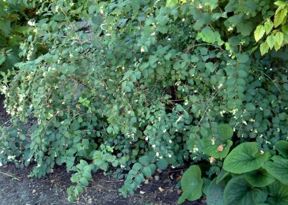 Symphoricarpos oreophilus - Snowberry @DBG 19sept05 LAH 352
