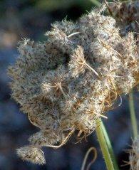 Carrot seedheads @Holzmann garden 26sept05 LAH 002