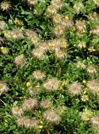 clematis-tangutica-lemon-peel-clematis-seedheads-dbg-lah-005