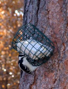 downy-woodpecker-home-2008oct21-lah-047