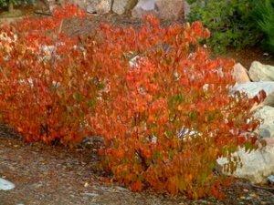 euonymus-alata-burning-bush-kellyjohnsonblvd-colospgs-22oct2005-lah-108