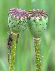 papaver-orientale-oriental-poppy-seed-pod_blkforest_20090625_lah_4522