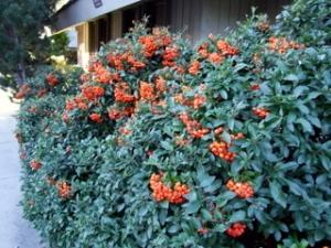 pyracantha-berriescolospgsco-2oct07-lah-004