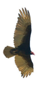 turkey-vulture_patagoniaaz_lah_0848cr