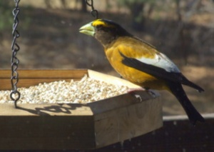 evening-grosbeak-blackforest-2008apr20-lah-022
