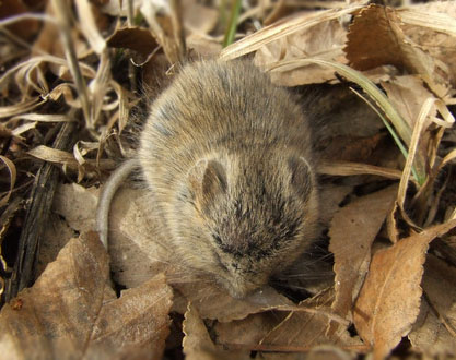 field-mouse-colospgs-24feb08-lah-006