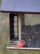 hopper-feeder-and-house-finch-blkforest-2008oct14-lah-202r-2