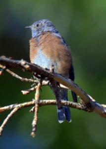 western-bluebird_turkeycreek-ftcarson-co_lah_9761