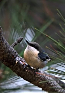 pygmy-nuthatch_blkforest-co_lah_0587