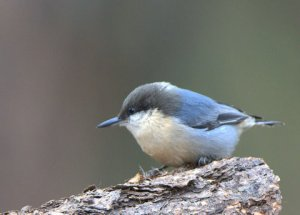 pygmy-nuthatch_blkforest-co_lah_0601