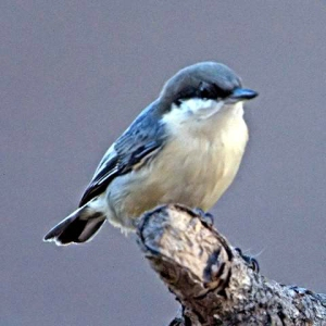 pygmy-nuthatch_blkforest-co_lah_3709