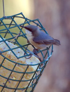 pygmy-nuthatch_blkforest-co_lah_3764