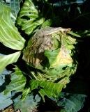 rabbit-damage-on-cabbage-home-2008sept23-lah-254