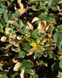 winter-leaf-burn-on-mahonia-xg-may142008-lah-028