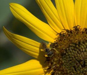 bee-on-sunflower__butterflypavilion-co_lah_9091