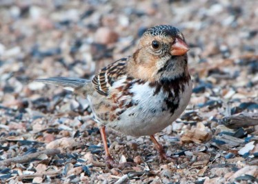 harriss-sparrow_lah_2944