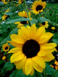 helianthus-annuus-sunflower-csu-23jul04-lah-029